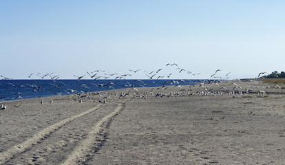 ITALY, Calabria, Ionian sea coast, seagulls on the beach