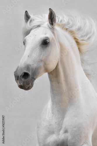 white horse stallion isolated on the gray background - 16259147