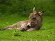 müdes Eselfohlen