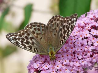 Argynnis paphia f. valesina - Kaisermantel I