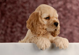 cocker spaniel puppy with paws over white foreground .. poster