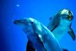 Leinwandbild Motiv Delfini curiosi