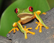 Quadro red eyed green tree frog curiously looking at camera