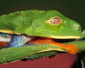 defensive red eyed green tree frog shows protective eye cover