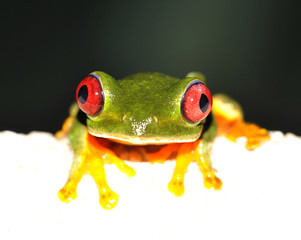 high key picture of red eyed green tree frog on wall