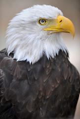 side profile right of american bald eagle