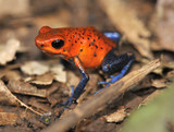 strawberry or blue jeans poison dart frog, costa rica, 3 poster