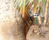 bengal tiger hiding behind tree poster