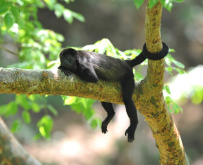 female howler monkey holds tree with tail, costa rica
