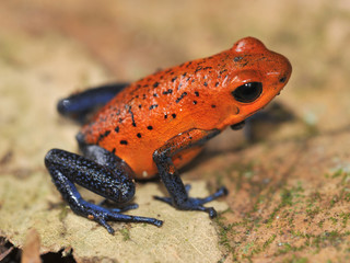 blue jeans or strawberry dart frog, costa rica 1