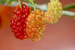Mulberry, Delicious red fruit