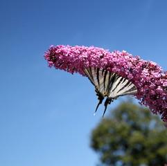 Papillon butinant sur une fleur.