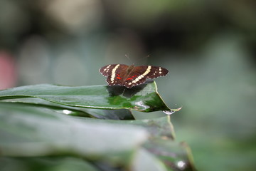 The Banded Peacock or Fatima (Anartia fatima)
