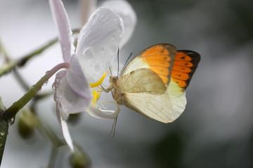 Anthocharis cardamin (Orange Tip) on a orchid 10