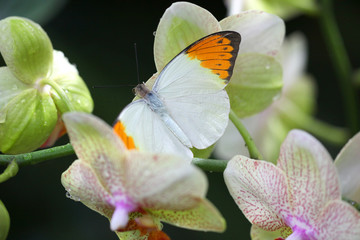 Anthocharis cardamin (Orange Tip) on a orchid 09