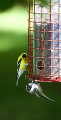 American Goldfinch on a birdfeeder