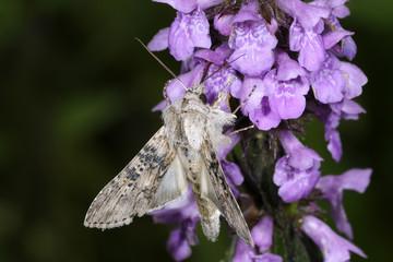 cucullia absinthii, wormwood