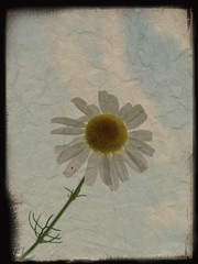 Vintage background with camomile