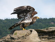 Immature Bald Eagle ready for take off