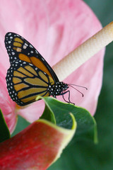 Danaus plexippus - Monarch butterfly 3