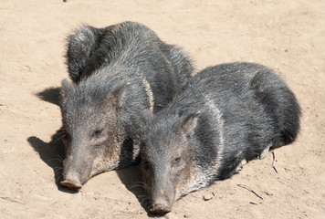 Two Collared Peccary lying together