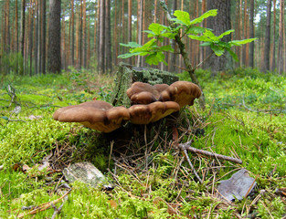 Mushrooms near the old stump in pine forest.