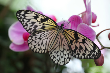 Idea leuconoe & orchid - Paper Kite or the Rice Paper butterfly