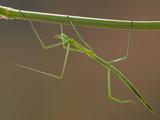 Bastone di insetto