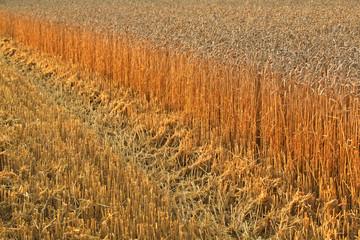 Combine Harvester in the Cornfield 05