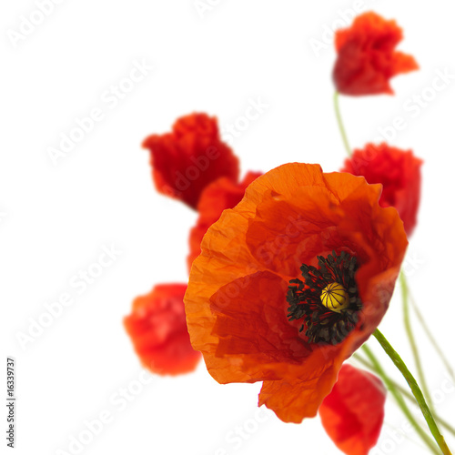 floral design, decoration flowers, poppies border - corner