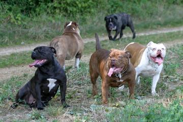 groupe de olde english bulldogge de couleurs différentes