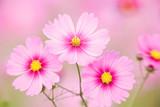コスモスの花 - 16349721