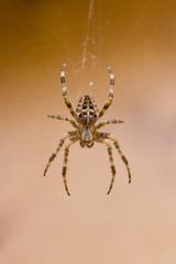 Garden spider in cobweb in fall