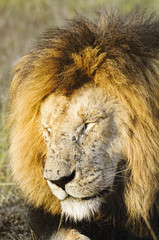 African lion  with flies swamp all over his face