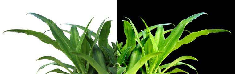 plants d'agaves sur fond blanc et sur fond noir