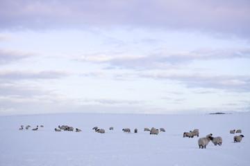 Flock of sheep in field