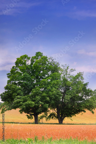 Two Trees In The Middle Of Wheat Fields