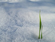 Grass growing in snow
