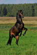 bay horse rears in the meadow