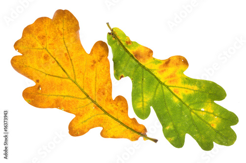Oak leaf isolated