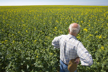 Farmer standing with hands on hips and looking over rape seed field