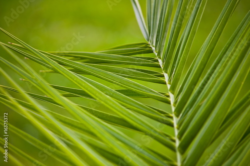 Palmwedel close-up