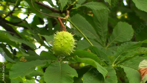 Single chestnut on branch