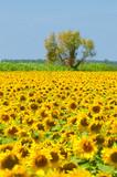 Fototapeta Sunflower field, Provence, France, shallow focus