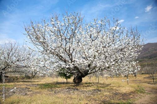 white almond tree