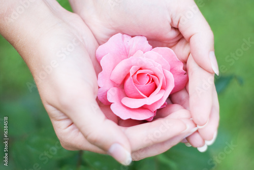 Women's hands with  rose