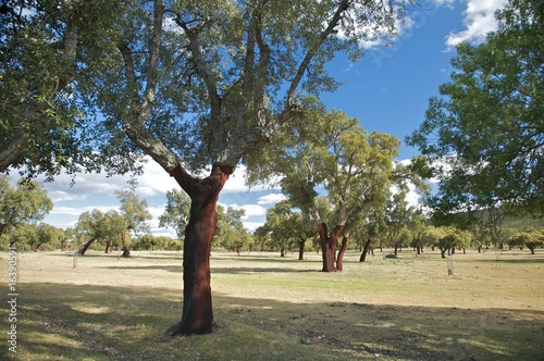 forest of cork trees