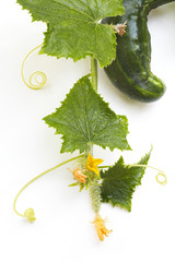 Cucumber with Leaves and Blossoms 02