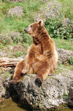 Brown bear sitting funny 8