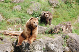 Brown bears 3